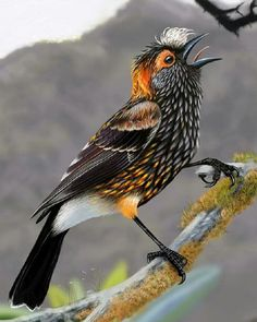 """Hawajka czubata.Eng.Crested honeycreeper lub """"akohekohe(Palmeria dolei) jest to endemicznyptak z rodziny Fringillidae zasiedlający jedynie wyspęMauinaHawajach.Jego naturalnymsiedliskiemsąpodmodkłe lasyzdominowane przezKoa(Acacia koa) i""""Öhi""""Lehua(Metrosideros polymorpha) rosnącena wysokości od 1300 do 2200 m.npm. Jest to największa hawajka osiągająca od 17 do 18 cm długości. Hawajka ta żywi się nektarem z kwiatów  """" Öhi """" w Lehua ( Metrosideros polymorpha ) rosnących…"""