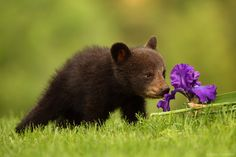 https://flic.kr/p/rPJ4vv | Canon 200-400 L IS Captures Black Bear Cub and an Iris | Leave your own caption for this image in the comments!  With the amazing Canon EF 200-400mm f/4L IS USM Lens (www.the-digital-picture.com/Reviews/Canon-EF-200-400mm-f-...) getting a nearly-equally amazing $800.00 price reduction (www.the-digital-picture.com/News/News-Post.aspx?News=14865), I felt compelled to share an image captured with this lens.   In the spring, black bears come out of hibernation black…