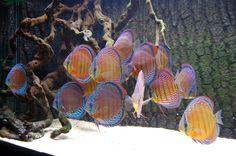 Wild Discus sighted at C28 please help ID - Page 2 - Arofanatics Fish ...