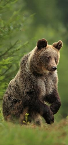 Dana K. made this image of a Grizzly Bear via Wild Things Nature Animals, Animals And Pets, Cute Animals, Wild Animals, Baby Animals, Wildlife Nature, Ours Grizzly, Grizzly Bears, Polar Bears