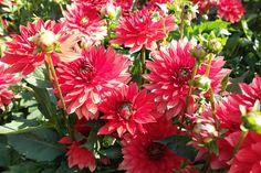 Vol in bloei op het Dahlia Festival te Mainau Duitsland.  (http://www.green-works.nl/en/pot-plant/dahlia-xxl-aztec/)
