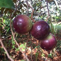 Star Apple Exotic Fruit, Tropical Fruits, Fruit Plants, Fruit Trees, Fruits Online, Star Apple, Apple Varieties, Bodybuilding Recipes, Low Maintenance Garden