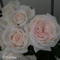 Honeymoon™ Arborose® | Newflora – Exclusive agent for Kordes Roses