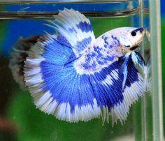 White Blue Dragon HM