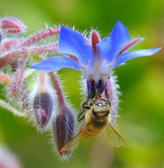 Plant Borage and Help Save Bees. Photo licensed by RC Designer