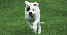 Dog with floppy ears running Training Your Dog, Training Tips, Cesar Millan, Bull Dog, How To Train Your, Dog Behavior, Pitbulls, Ears, Running
