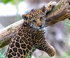 Little Jaguar Cub . Little Jaguar Cub . Wild Animals Photos, Cute Wild Animals, Baby Animals Pictures, Scary Animals, Animals And Pets, Funny Animals, Jaguar Tier, Beautiful Cats, Animals Beautiful