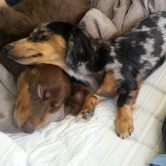 Doxie afternoon nap.
