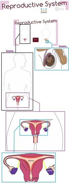 Reproductive endocrine systems students note and body systems reproductive system grades 6 to 12 ccuart Gallery