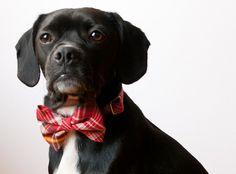 dog bowtie collar by SillyBuddy on Etsy