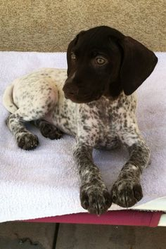 German shorthair pointer puppy. #germanshorthairedpointerpuppy