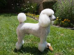 The Cream, Sable and Apricot Thread - Page 4 - Poodle Forum - Standard Poodle, Toy Poodle, Miniature Poodle Forum ALL Poodle owners too!