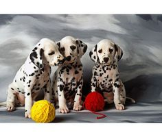 Dalmatians love to knit!!