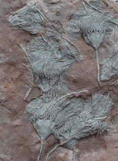 Fossiles généraux du Maroc - Goniatites, Orthoceras, Ammonites, Oursins