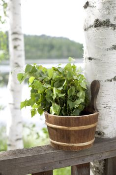 Midsummer celebrations, sauna and birch tree branch 'vihta' (a whisk).