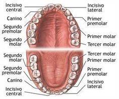 Care Dental anatomy--did you know the names?Dental anatomy--did you know the names? Dental Assistant Study, Dental Hygiene Student, Dental Procedures, Dental Humor, Dental Hygienist, Dental Implants, Implant Dentistry, Teeth Health, Dental Health