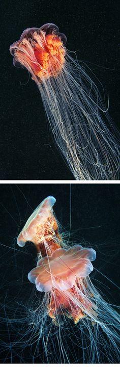 by Alexander Semenov. I love the weirdness that is jellyfish.