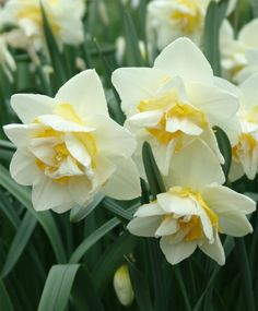 Narcissus White Lion - Double - Narcissi - Fall 2013 Flower Bulbs