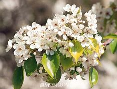 Monrovia's Evergreen Pear details and information. Learn more about Monrovia plants and best practices for best possible plant performance. Monrovia Plants, Backyard Trees, Pyrus, Plant Catalogs, Pear Trees, Garden Images, Flowering Trees, Horticulture, Evergreen