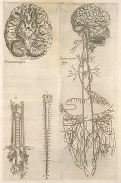 brain and spinal cord, Thomas Geminus, 16th century