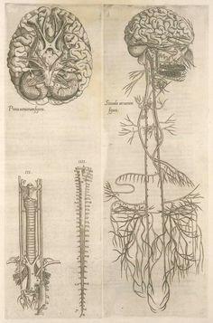 Prima neruorum figura -- Secunda neruorum figura. [Brain and cranial nerves]