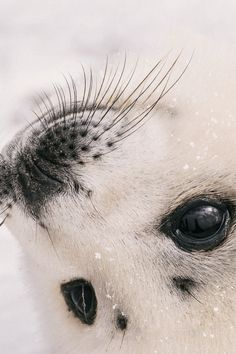 brazenbvll:Young Seal Portrait : (Scott Grant)