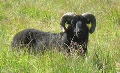 Hebridean sheep, yarn and fleece from Colonsay, Island at the Edge