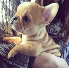 French bulldog puppy #puppy #puppies #frenchbulldog #frenchbulldogs #cute