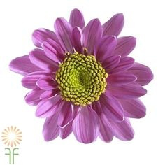 Buy the freshest lavender daisy mums Diy Wedding Flowers, Diy Flowers, Colorful Flowers, Chrysanthemum Flower, Flowers Online, Lavender Flowers, Daisy, Bloom, Floral