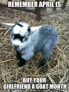 Mini donkey, mini farm, fluffy animals, cute baby animals, animals and pets Mini Goats, Cute Goats, Baby Goats, Baby Pygmy Goats, Fluffy Animals, Cute Baby Animals, Animals And Pets, Pigmy Goats, Mini Donkey