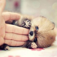 Puppy -- originally identified as a baby Red Panda! Where do people get these ideas?                                                                                                                                                      More