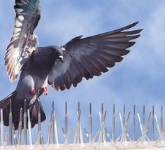How to get rid of pigeons #homepestcontrolhowtogetrid Get Rid Of Pigeons, House Insects,