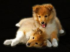Adorable Sheltie puppies