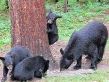 Summer and  her 3 cubs July 27,14 Ely,Mn.