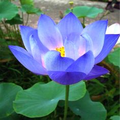 Flower Seeds Blue Lotus Seeds Aquatic Plants Water Lily Plants Midnight Blue Lotus at Banggood