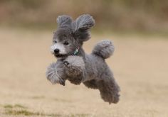 Toy Poodle on the fly Poodles love to run and jump