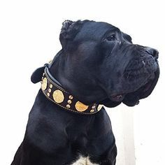 Bestia Maximus genuine leather dog collar, Large breeds, cane corso, Rottweiler, Bullmastiff, Dogo, Quality dog collar, 100% leather, studded, L- XXL size, 2.5 inch wide. padded. Made in Europe!, http://www.amazon.com/dp/B0117JAHHI/ref=cm_sw_r_pi_n_awdm_MCKKxbBGRTZZE