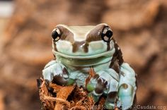 Trachycephalus resinifictrix; Amazon Milk Frog