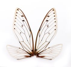 Photo about A pair of cicada insect wings. Image of pattern, white, pair - 25719294 Insect Wings, Dragonfly Wings, Insect Art, Butterfly Wings, Deco Pirate, Bee Wings, Wings Drawing, Wings Design, Fairy Wings