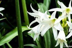 写真 ユリ 202002 夏に咲く花 Plants, Flora, Plant