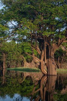 Uma árvore magnífica crescendo para fora da água, em meio à Floresta Amazônica. Estado do Amazonas, Brasil.  Fotografia: Paul Schlarman no Flickr.