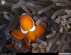 Clownfish and anemone in Cabilao - Philippines