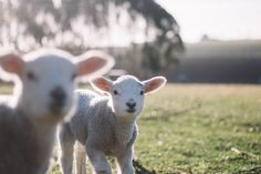 Petting zoos on the Gold Coast are great places to take the kids.Whether you like farm yard or bush babies, there is a petting zoo Weekender, Sheep Art, Baby Lamb, Black And White Baby, Woodland Nursery, New Moon, Zoo Animals, Gold Coast, Wool Blanket