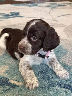 Springer Spaniel Puppies, English Springer Spaniel, Cute Little Baby, Little Babies, Baby Animals, Cute Animals, Dog Cookies, True Love, Creatures