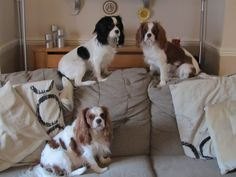 My 3 cavalier king charles spaniels