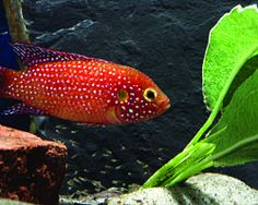 The author offers his account of breeding and raising up the fry of the colorful West African cichlid Hemichromis lifalili.