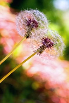 Dandelion clock Wallpaper Flowers Nature Wallpapers) – Free Backgrounds and Wallpapers Dandelion Clock, Dandelion Wish, Pretty Flowers, Yellow Flowers, Clock Wallpaper, Flower Farm, Flowers Nature, Illustrations And Posters, Make A Wish