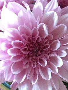 Χρυσάνθεμο chrysanthemum