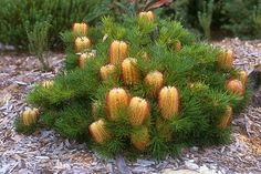 Banksia spinulosa 'Birthday Candles' (anpsa.org.au)