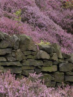 Scottish Heather among the dry stone walls
